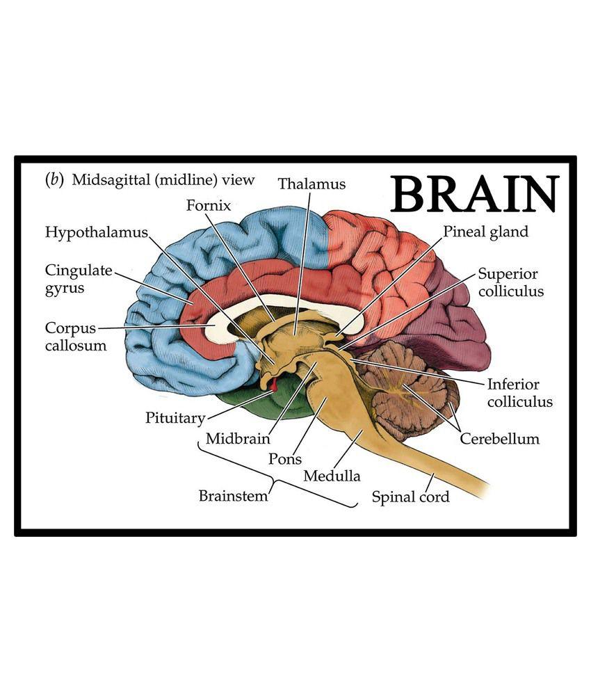 AV Styles Textured Human Brain Knowledgeful Diagram for ...