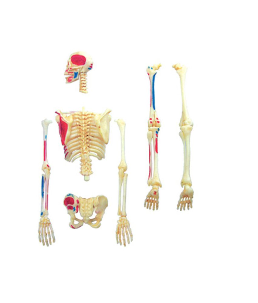 indian scientific company human skeleton model: buy online at best, Skeleton