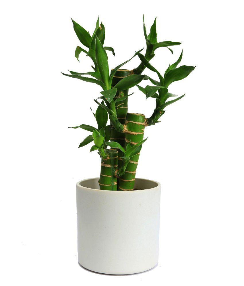 Nurturing green indoor green plants white pot cutleaf for Indoor green plants images