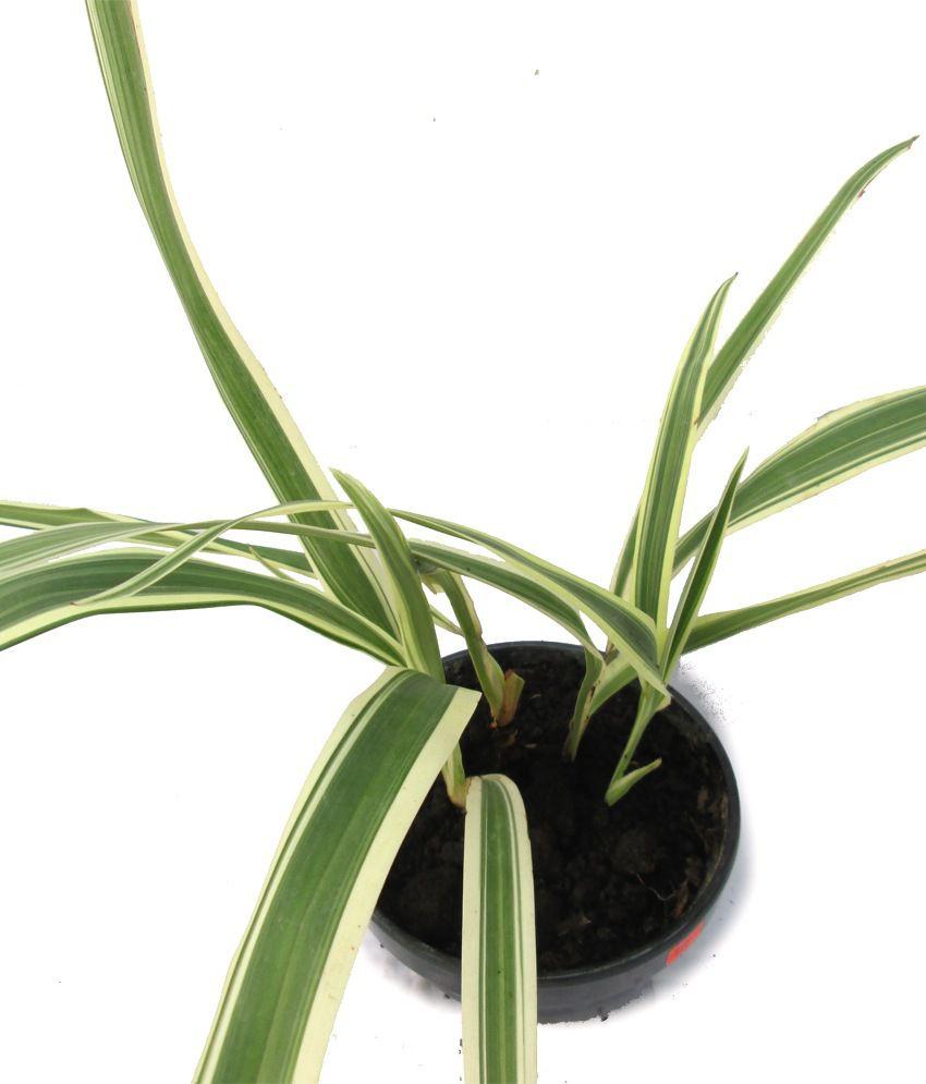 ... A' Bonsai Chlorophytum Comosum ( Spider Plant ) Live Plant