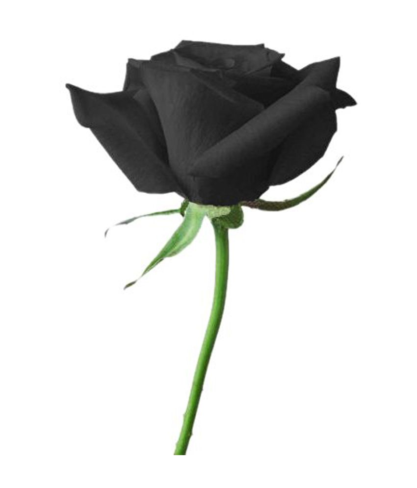 Black rose flower pictures to pin on pinterest pinsdaddy for How to make black roses