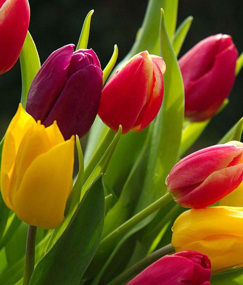 Mpro-Tech Mix Colour Tulip Flower Seed: Buy Mpro-Tech Mix