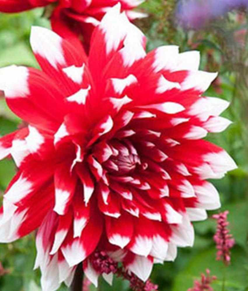 Mpro Tech Mixed Colour Heirloom Dahlia Flower Seed Buy Mpro Tech