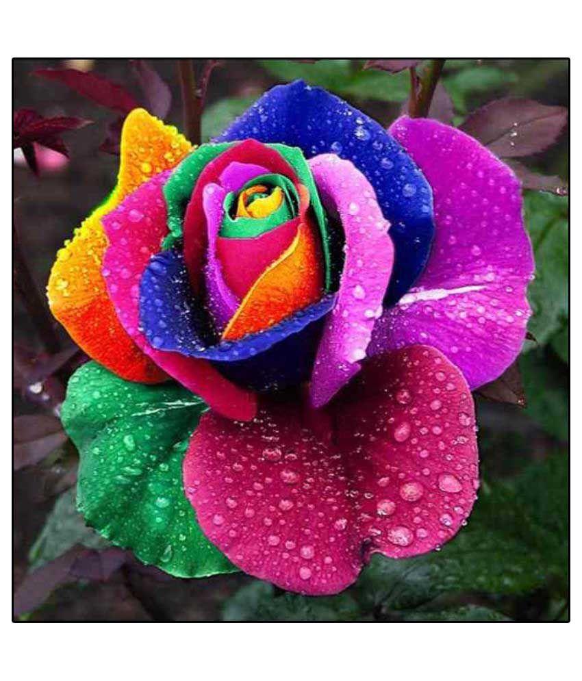 E garden rainbow rose flower seeds buy e garden rainbow for Plantas exoticas online
