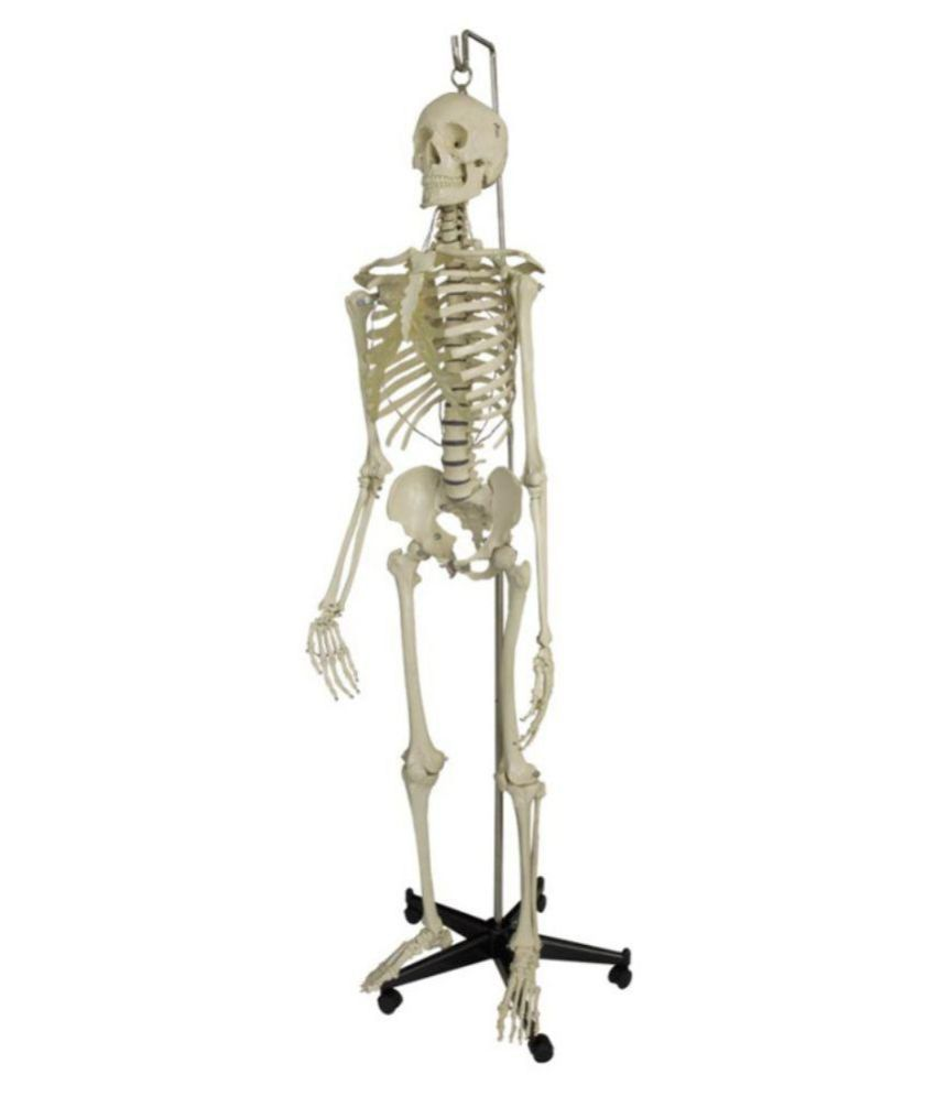 mlabs fiber human skeleton: buy online at best price in india, Skeleton