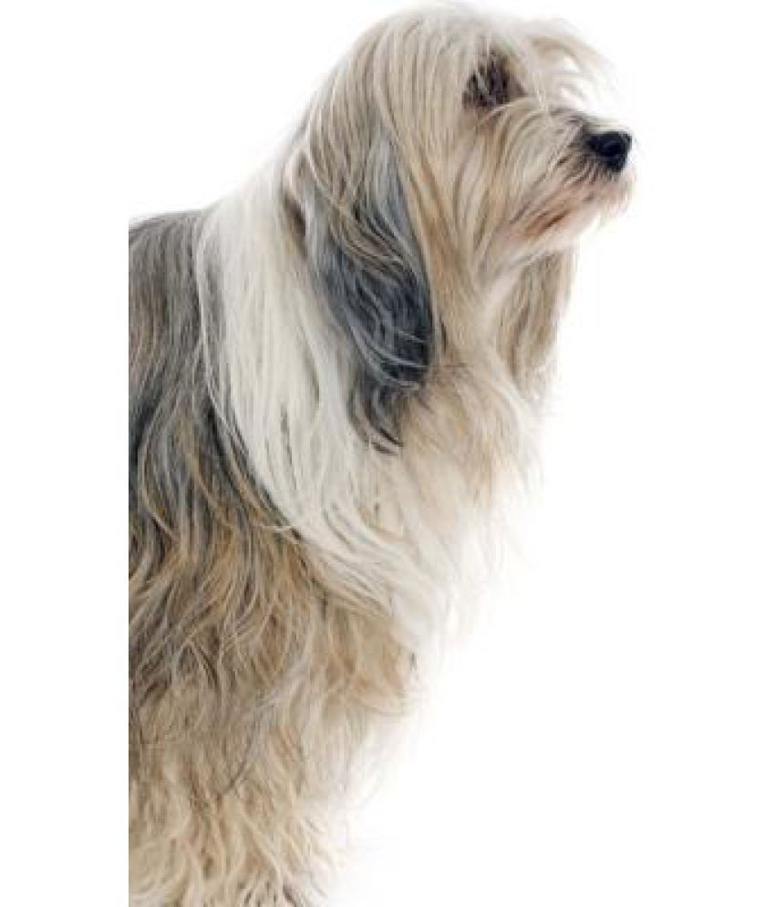 Tibetan Terrier Online At Low Price