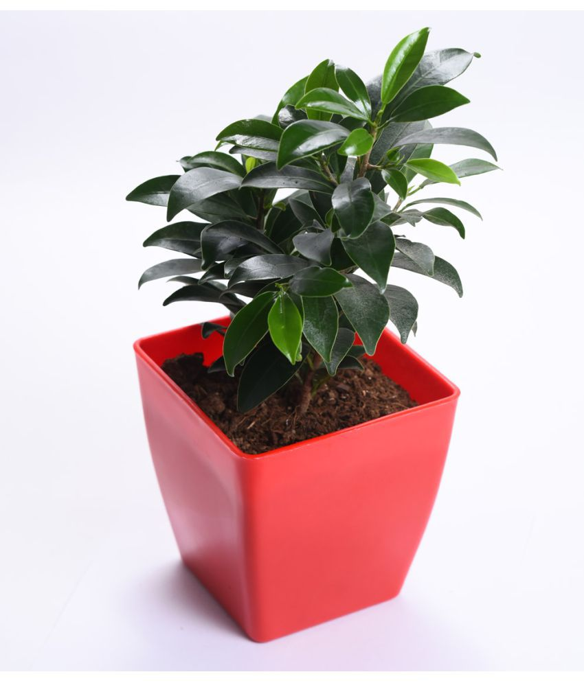 Sheel Greens Ficus Indoor Indoor Plant ...