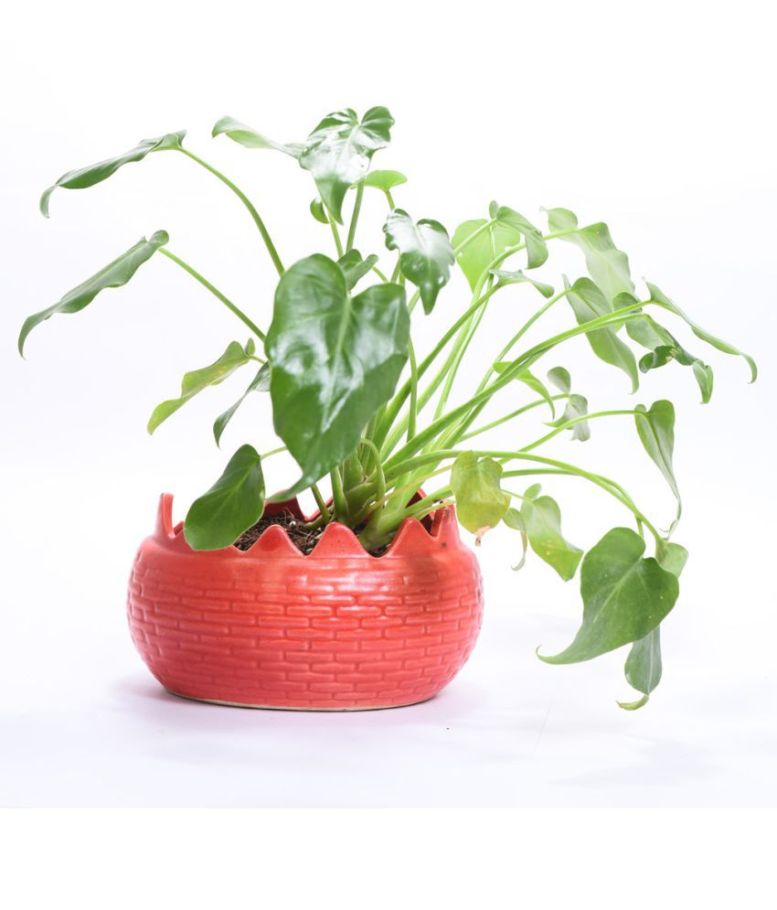 Sheel Greens Xanadu Indoor Indoor Plant ...