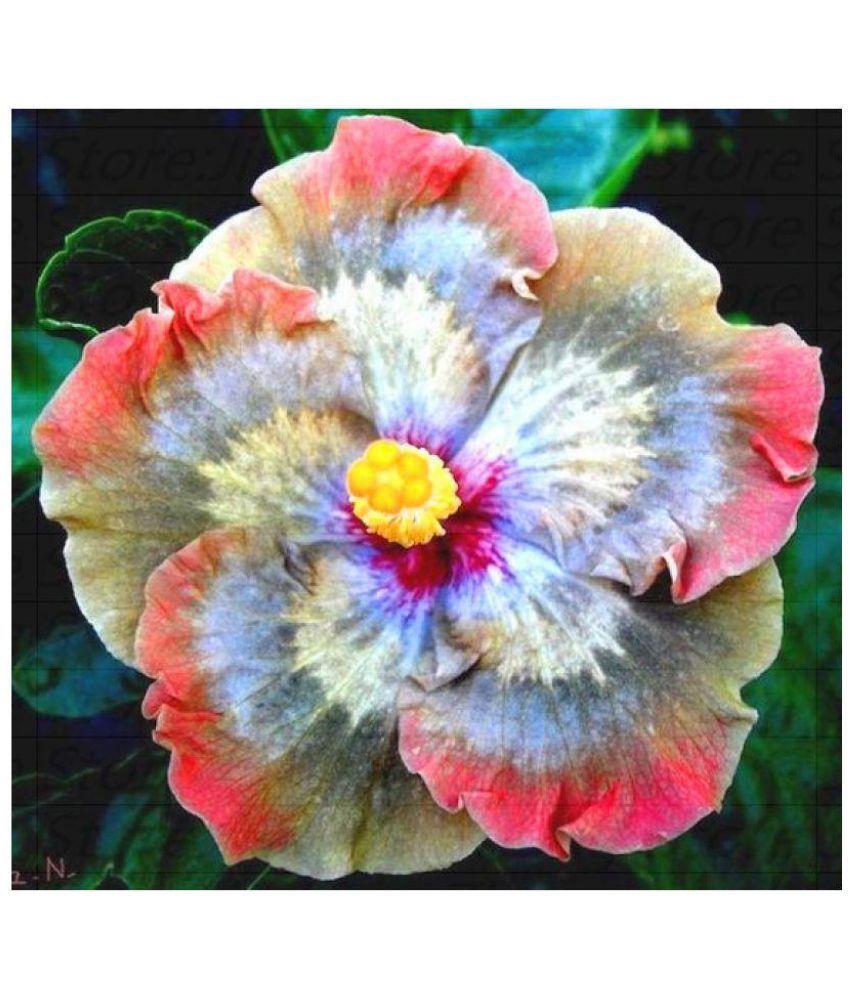 Futaba rainbow giant hibiscus flower seeds buy futaba rainbow giant view order free installation futaba rainbow giant hibiscus flower seeds izmirmasajfo