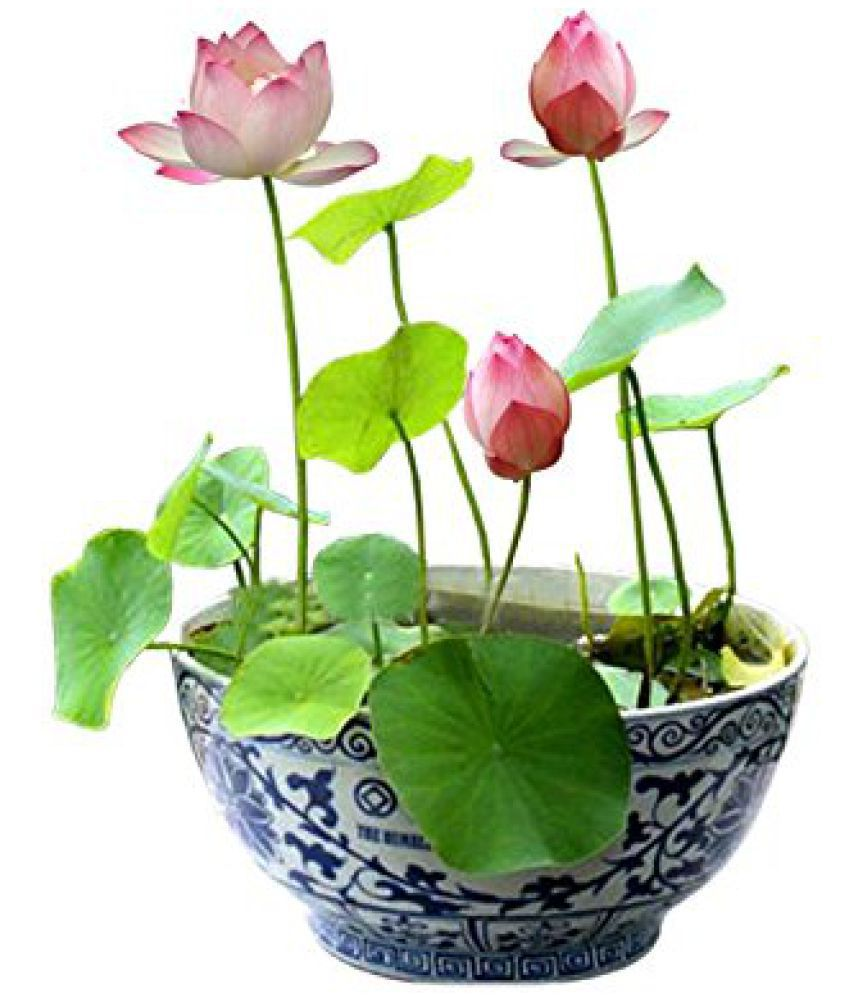 M Tech Gardens Bonsai Pink Lotus Flower 10 Seeds Pack Buy M Tech