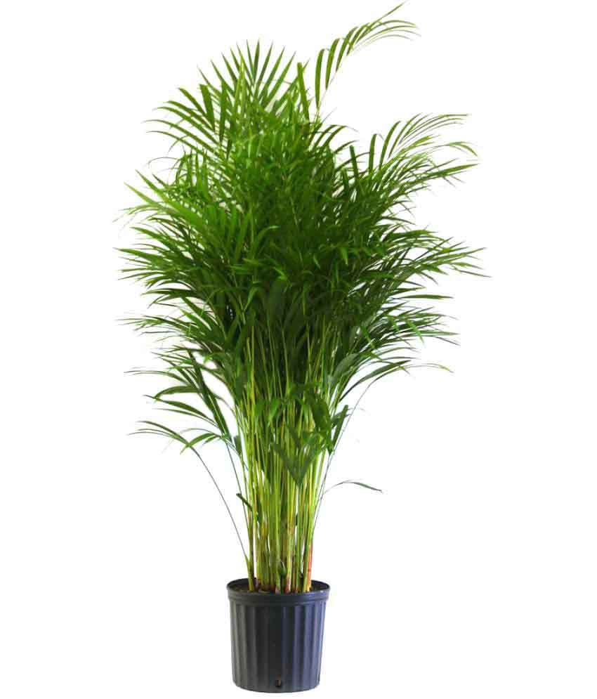 The Green Team Oxygen Live Areca Palm Both Indoor Plant Online At Low Price