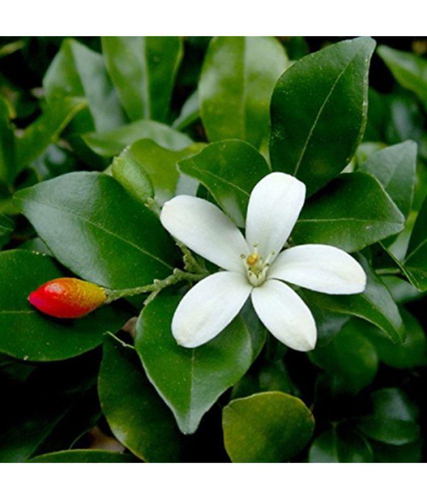Creative Farmer Kamini Flower Jasmine Flower Seeds Buy Creative