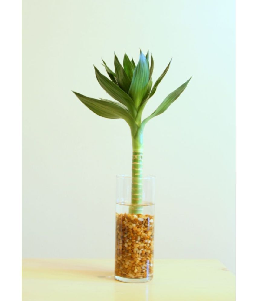 ... Green Plant Indoor Lotus Bamboo Plant With Pot Indoor Bamboo Plant