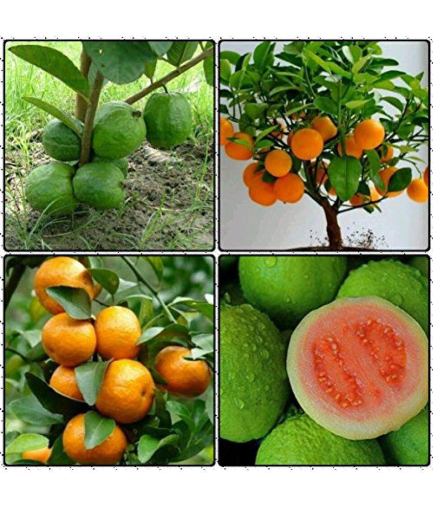 Dwarf Fruit Seeds Mandarin Orange, Apple Guava Combo 10 Seeds Each