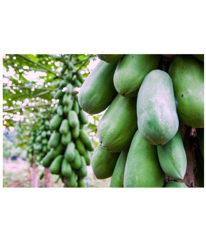 Green World Red Lady Taiwan Papaya Seeds Seed Buy Green World Red