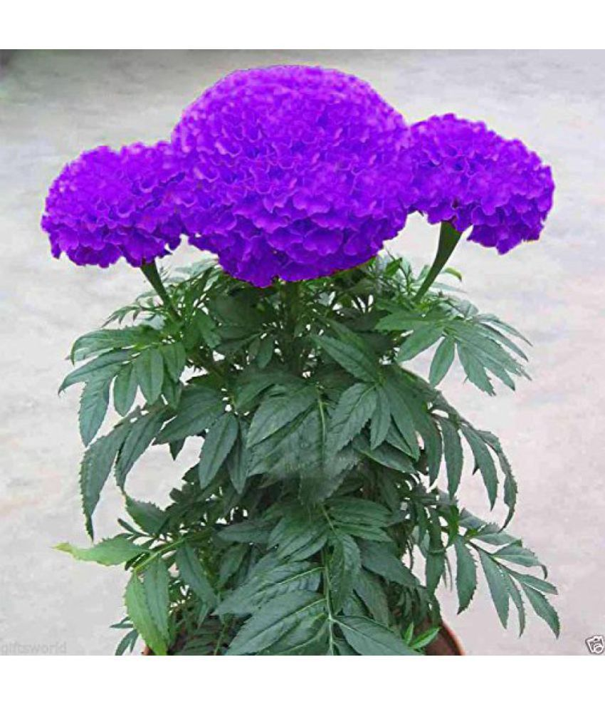 Catterpillar Farm Purple Blue Marigold 35 Seedsexotic Flower Seeds