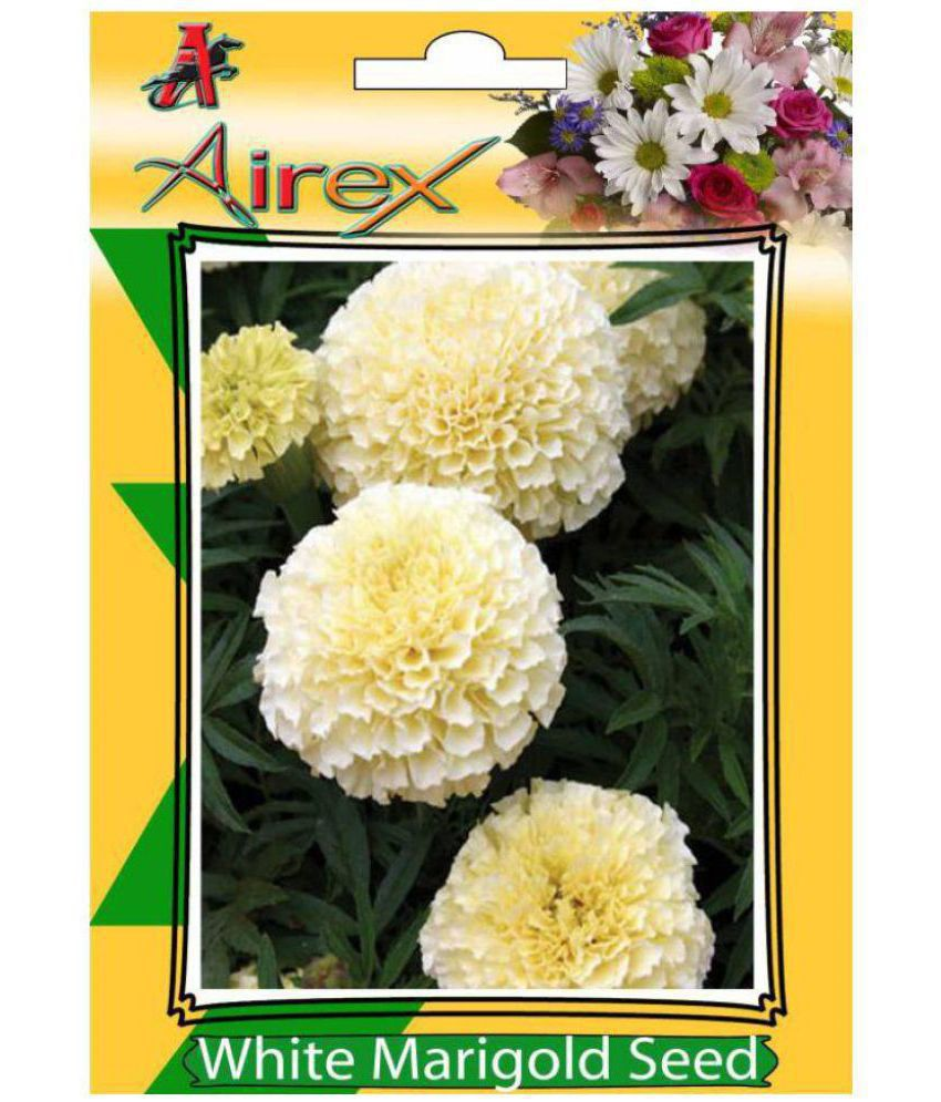 White Marigold Summer Flower Seeds Buy White Marigold Summer