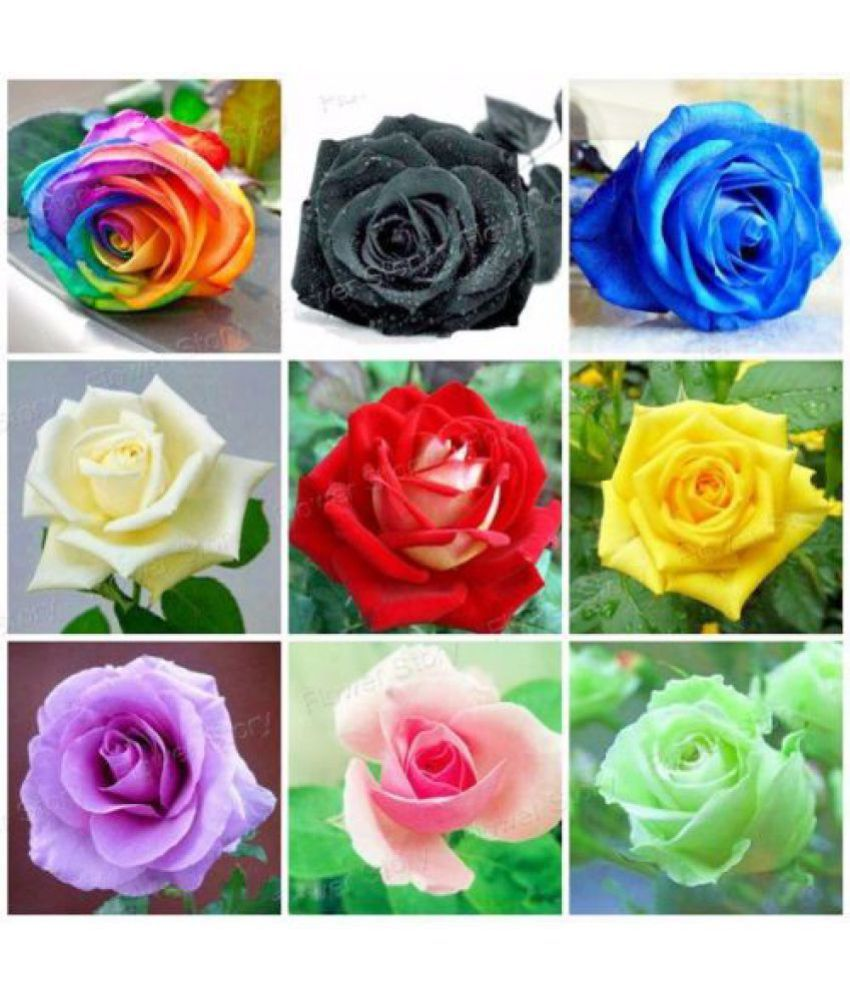 Rose seeds mix rainbow pink black white red purple green yellow blue 20 seeds pack buy rose seeds mix rainbow pink black white red