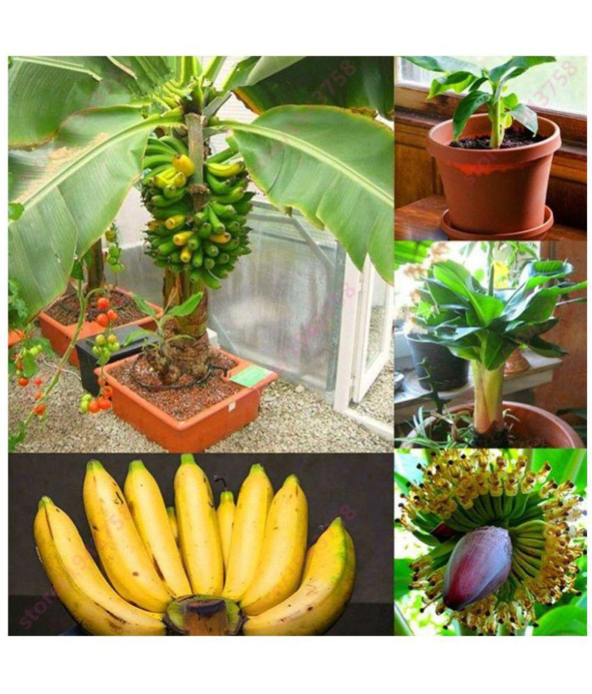 Dwarf Banana Tree Pictures