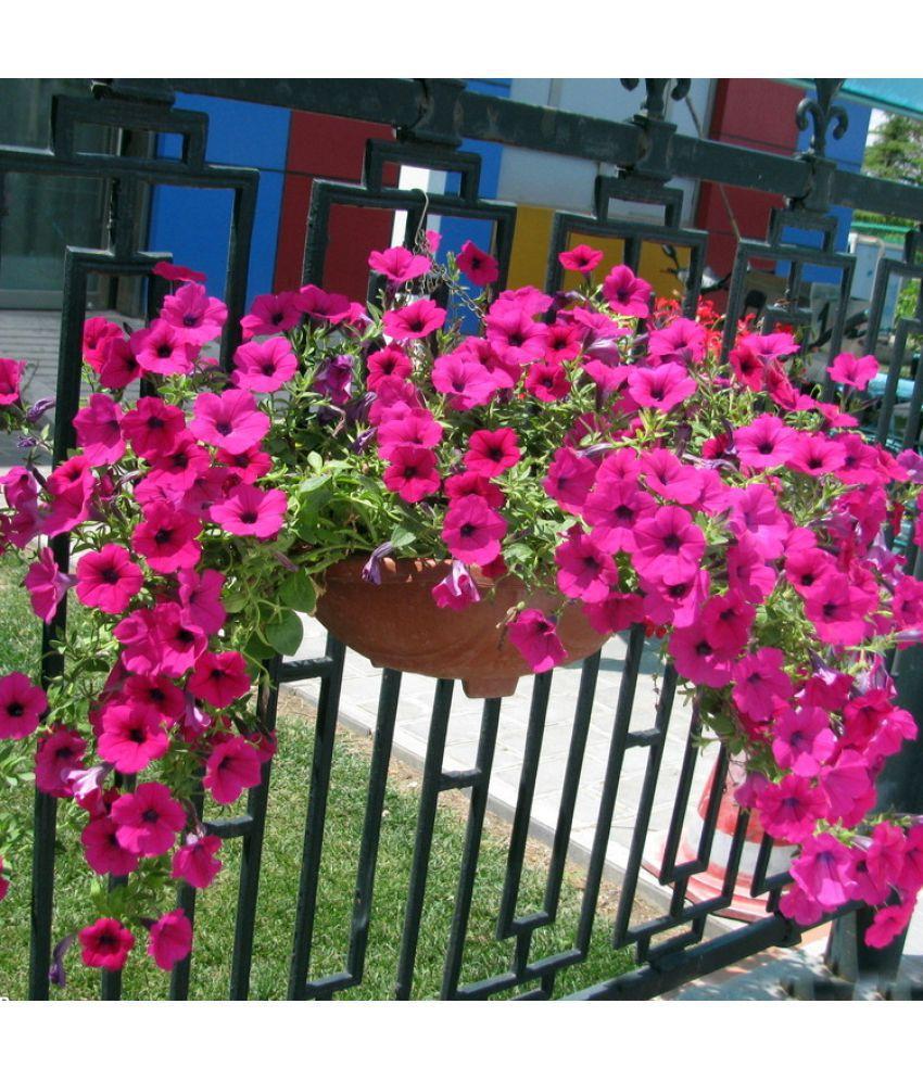 Flower Seeds Petunia Grandiflora Pink Rose Winter Flower Exotic