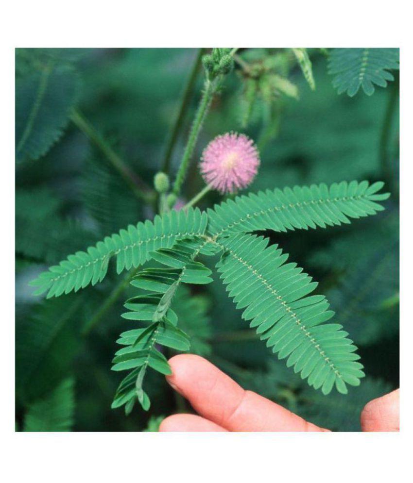 Lajwanti - Mimosa Pudica Touch me not - Shy Sensitive Splendid Flower  Beautiful Lovely Popular Plant Seeds