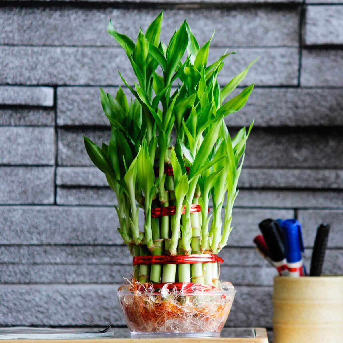 The Bonsai Plants Lucky 3 Layer Bonsai Bamboo Plant With Pot Bonsai Tree Bamboo Tree Buy The Bonsai Plants Lucky 3 Layer Bonsai Bamboo Plant With Pot Bonsai Tree Bamboo Tree Online