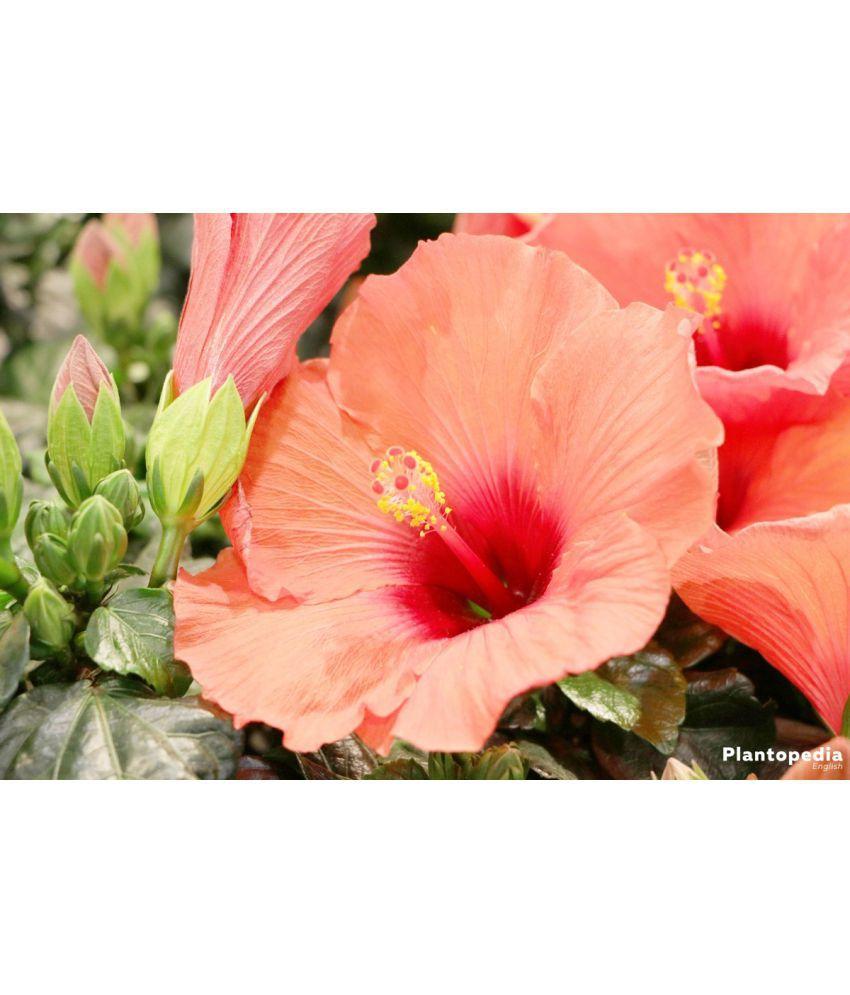 Green Lee Hibiscus Rosa Sinencis Live Flower Plant Best Pot Indoor