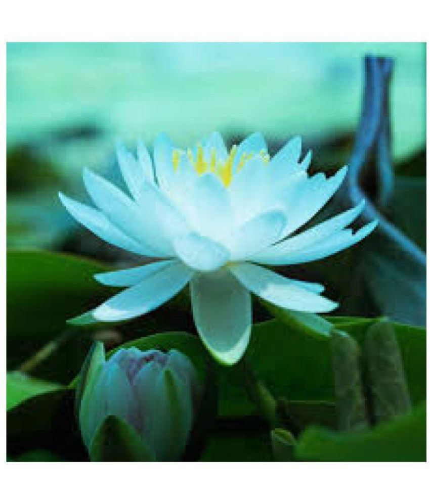 blue lotus seed buy blue lotus seed online at low price snapdeal rh snapdeal com