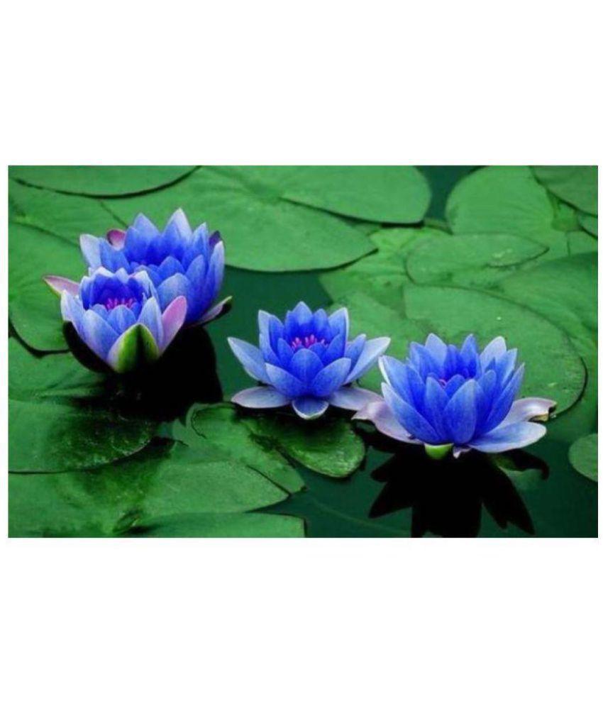 Saaheli Lotus Flower Blue Seed Buy Saaheli Lotus Flower Blue Seed