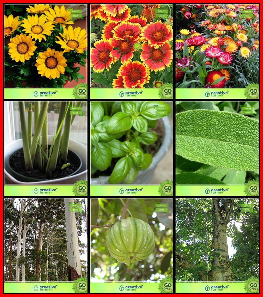 Seeds Online India Combo Flower Seeds & Tree Seeds : Eucalyptus Grandis,  Pot Tamarind, Gmelina Arborea, Sage Broad Leaved, Basil Green, Lemon Grass,