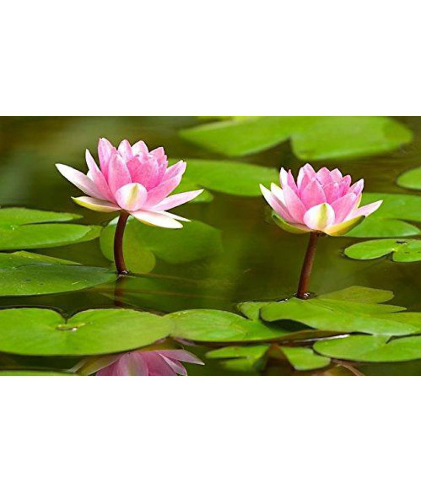 Flower Seeds Lotus Flower Seeds Nelumbo Nucifera For Pots Seeds