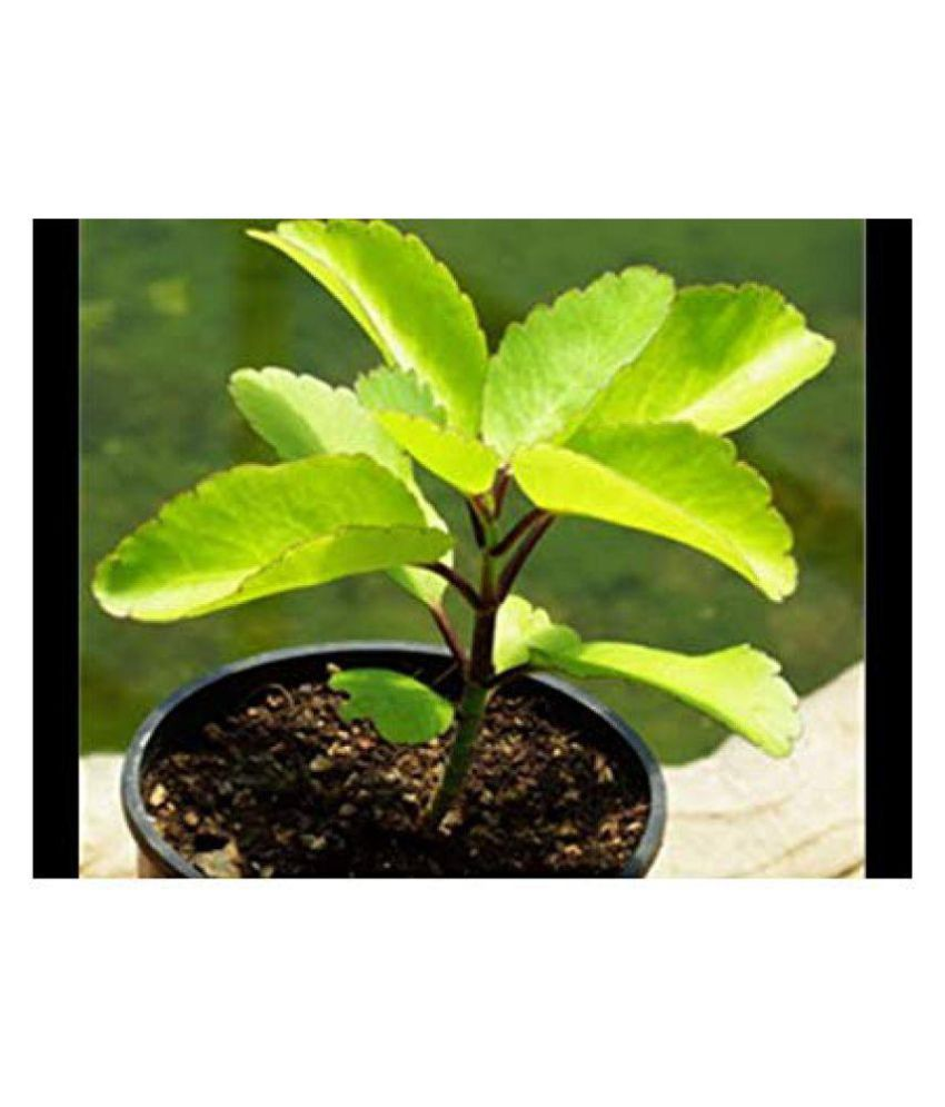 bhajanlal greenery Patharchatta Kidney Stone Healthy, Outdoor Plant Both  Medicinal Plants