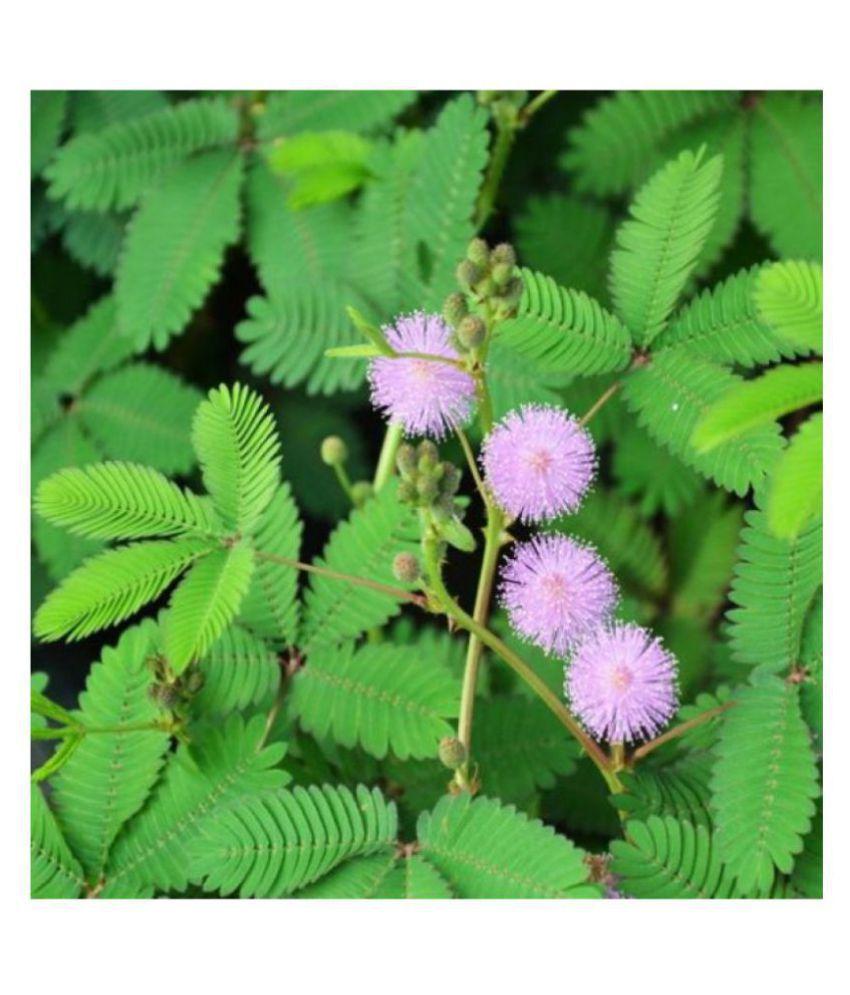 https://n4.sdlcdn.com/imgs/i/1/u/Mimosa-Pudica-Touch-me-not-SDL101435906-1-2dcd7.jpeg
