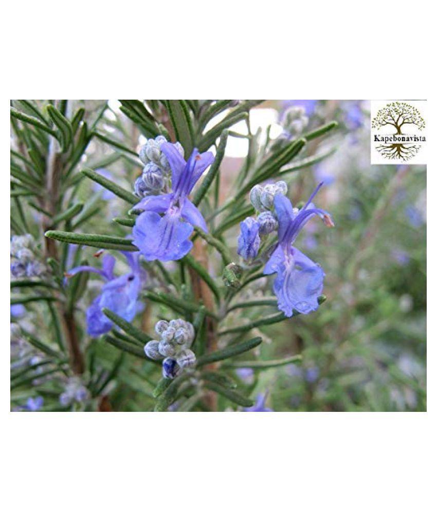 Kapebonavista Keshwas Rosemary Plant in Poly Bag Raw Herbs 1 no.s Pack Of 1