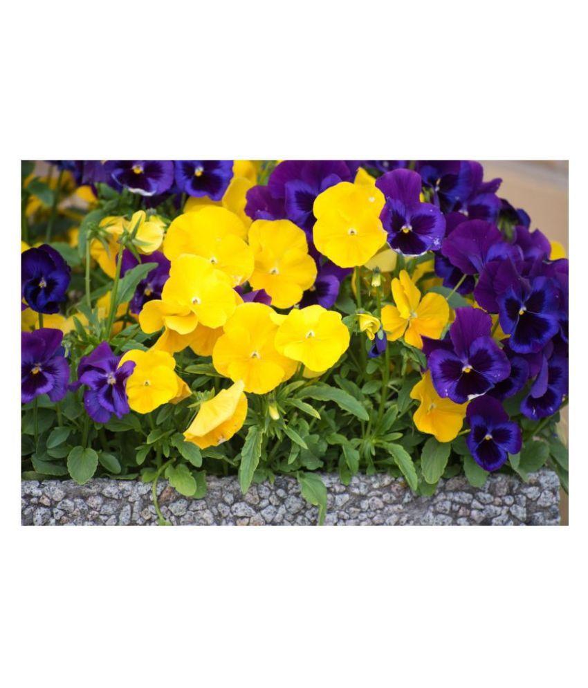 Creative Farmer Flower Seeds Pansy Hybrid Mix Seeds Flower Seeds For Home Garden 100 Seeds